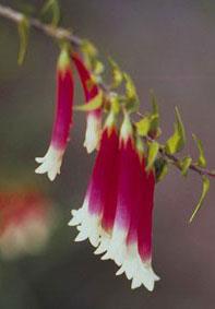 Bush-Fuchsia