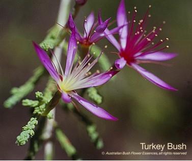 Turkey Bush